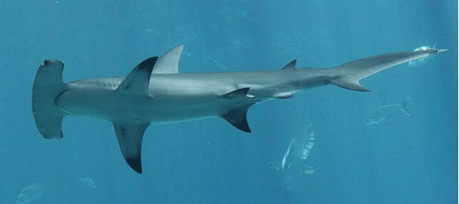 La Información Mas Completa Sobre El Tiburón Martillo